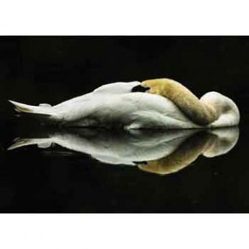 swan sleeping