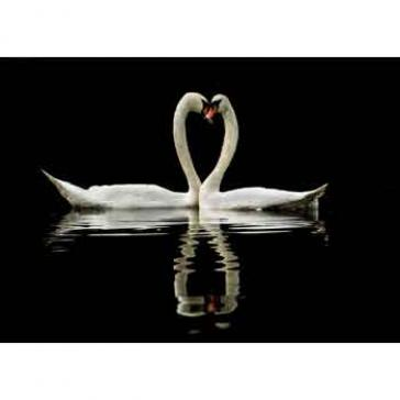 Two swans heart