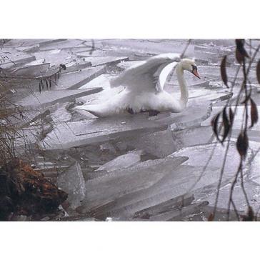 Frozen Swan