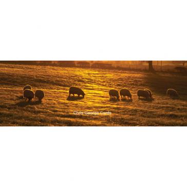 Sheep graze at sunset
