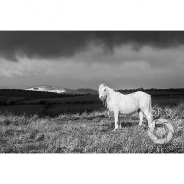 Pony on Hopesay Common