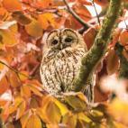 Tawney owl